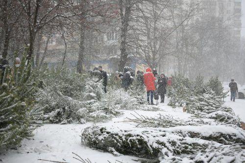Торговцев нелегальными елками оштрафовали на 400 тысяч гривен