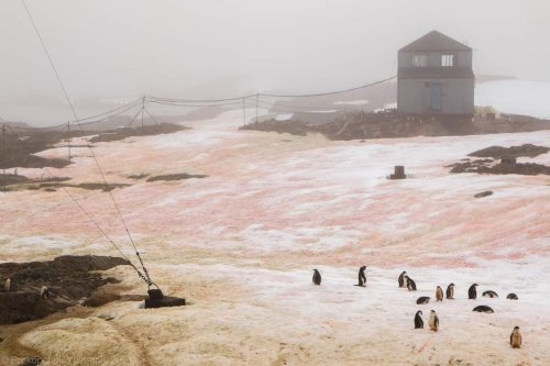 Возле украинской антарктической станции снег стал розового цвета