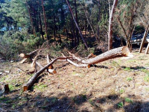 В Крыму массово вырубили сосны под частное строительство. Фото