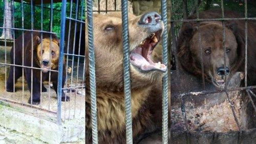 """Бурого ведмедя, з якого потішалися туристи, доправили в парк """"Синевир"""". Відео"""