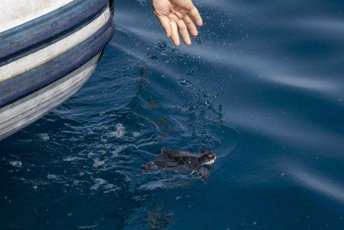 У Ізраїлі в море випустили черепах, які постраждали під час найстрашнішої екокатастрофи наших днів: фото