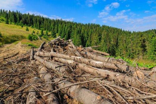 Карпати знову полисіють? – український ліс-кругляк поїде до Європи