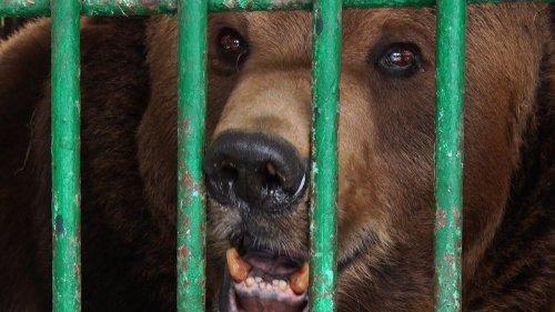 Помер ведмідь Юра, якого визволили з косівського пансіонату