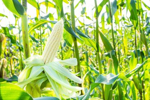 Ученые предлагают очищать воду с помощью фильтра из кукурузы
