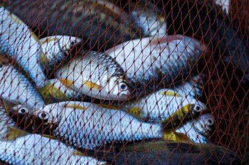 В Азовському морі патруль виявив 650 метрів браконьєрських сіток з рибою