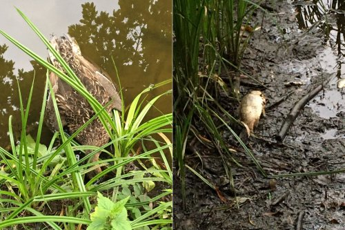 Подозревают отравление: на ставках в нацпарке Киева массово погибли утки и рыба. Фото