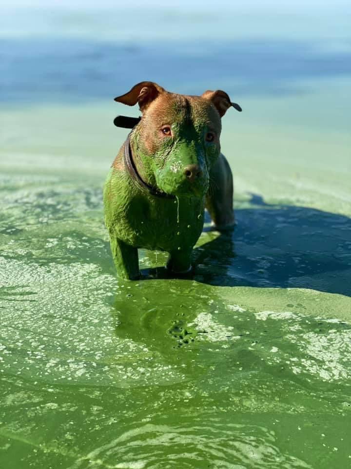 Рыжий пес позеленел после купания в Днепре