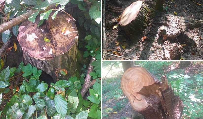 """В Нацпарку """"Подільські Товтри"""" на Хмельниччині незаконно вирубано понад 100 різних дерев"""